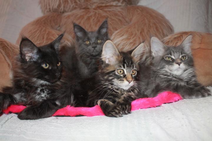 Мейн куны - котята на продажу