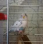 Продам попугая самку + клетка