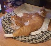 Сибирские котята рыжего окраса