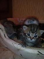 Шотландские котята(страйт)