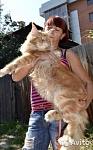 Котята породы мейн-кун редкого окраса