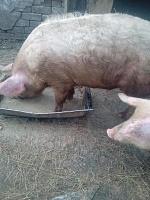 Свиньи и поросята