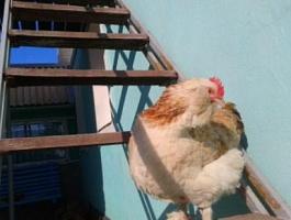 Инкубационное яйцо фавероль лососёвая