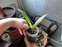 Молодые ростки веерных пальм Вашингтония и Трахикарпус