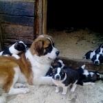 Щенки московской сторожевой собаки