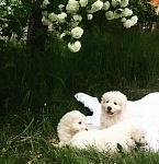 Щенки мареммо абруццкой овчарки