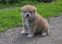 Продаются щенки Акита ину.
