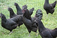 Продам кур
