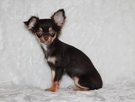 Продается щенок чихуахуа.