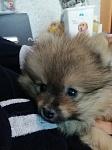 Продам щенков малого и померанского шпица
