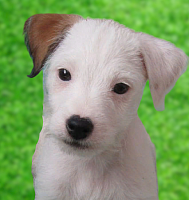 Джек Рассел Терьер (парсон) высокопородные щенки