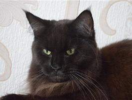 Мейн-кун клубные котята серебристых окрасов.