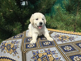 Продам щенков золотистого ретривера